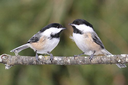 Silent all winter, the chickadees are again welcoming spring.